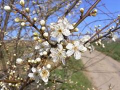 Laacher Frühlingserwachen